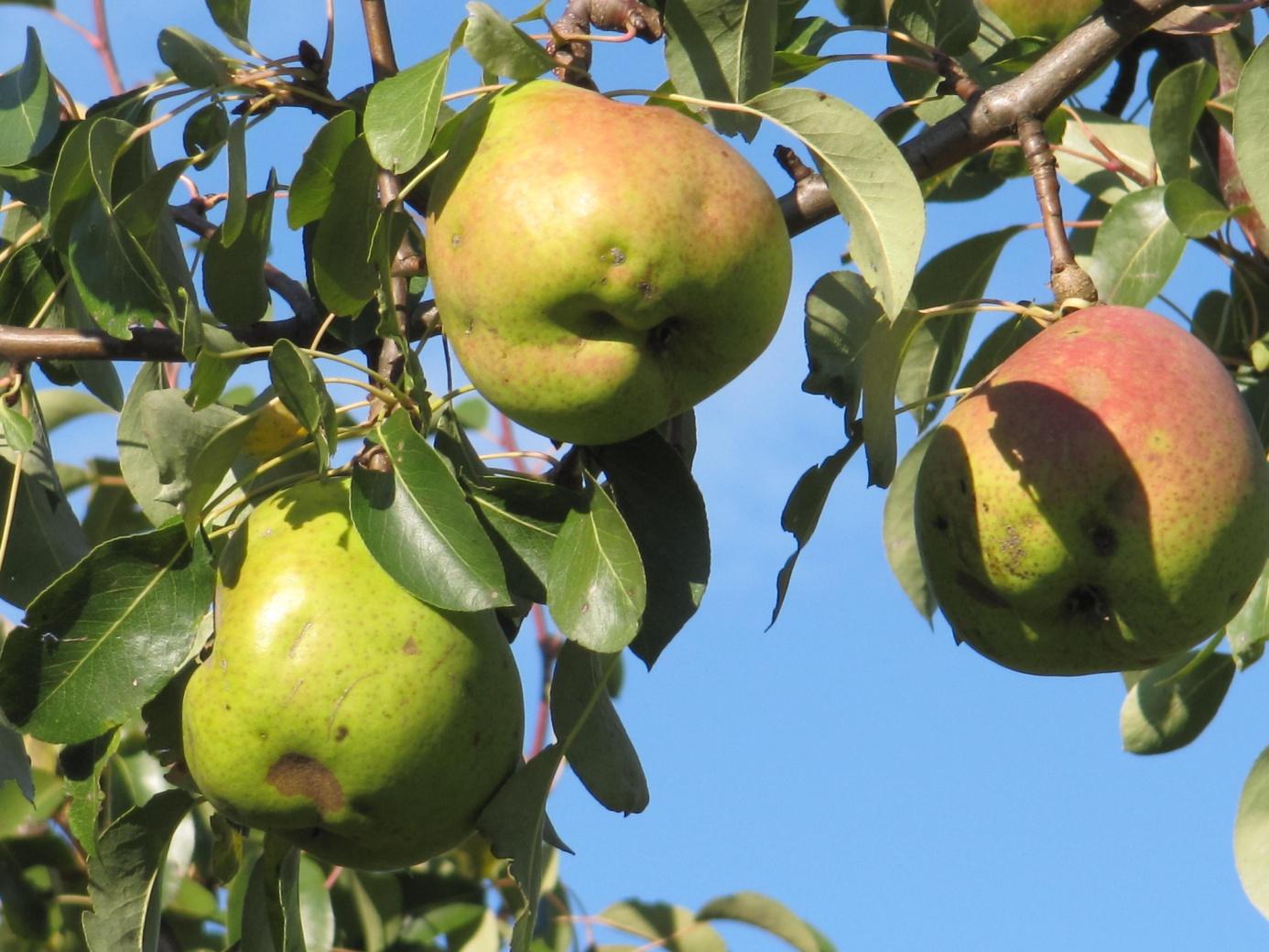 C:\Users\Hans\BUND, Naturschutz\Biotoppflege, Fotos\OWC, Birnensorte Alexander Lukas (5).JPG