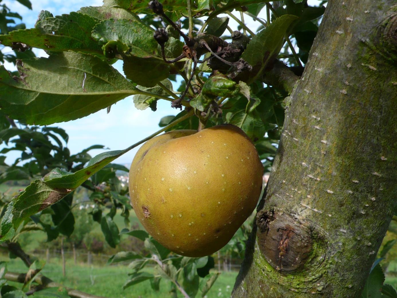 C:\Users\Hans\BUND, Naturschutz\Biotoppflege, Fotos\OW, Sorte Graue Herbstrenette (3).JPG