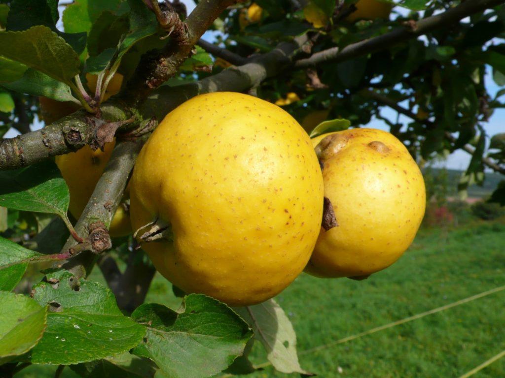 Apfelsorte Guldentaler Knorzekopp