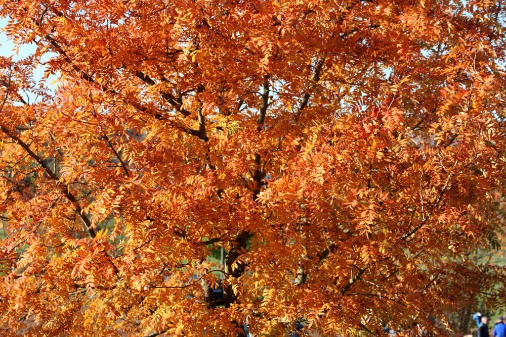 Speierling im Herbst