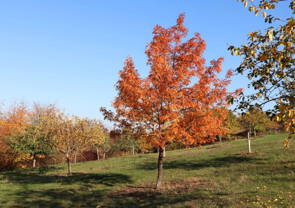 Speierling im Herbstgewand