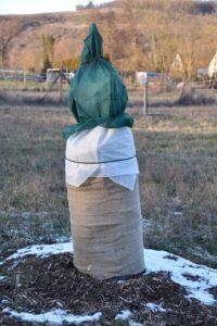 Winterkälteschutz für unsere jungen/frisch gepflanzten Walnussbäume